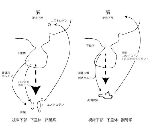 視床下部‐下垂体‐卵巣系、視床下部‐下垂体‐副腎系のシェーマ