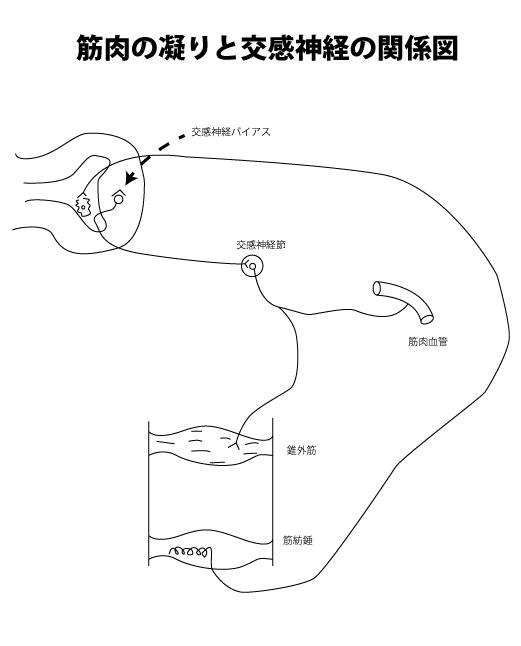 筋肉の凝りと交感神経のシェーマ