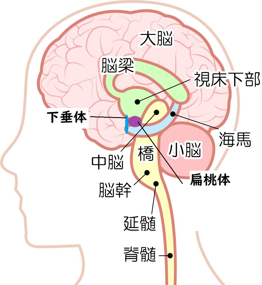 高プロラクチン血症の鍼灸治療 | 大阪市心斎橋、長堀橋、実績30 ...